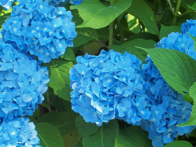 hydrangeas at New Seabury